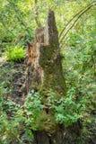 tree för stubbe för skoggrönskachampinjon Arkivfoton
