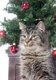 tree för tabby för kattjul gullig främre Royaltyfria Foton