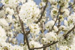 tree för tid för blomningCherryfjäder Arkivbilder