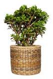 tree för växt för utklippdollarpengar Royaltyfria Bilder