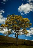 A tree 0f yellow ipée in the brazilian cerrado royalty free stock photography