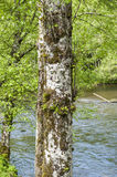 A tree with face - ketchikan. A face carved into the trunk of a tree Royalty Free Stock Photography