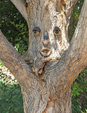Tree with Facial Expression watching you Royalty Free Stock Image