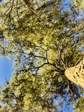 Sweetheart tree royalty free stock photos