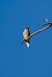 Tree falcon(falco subbuteo). Tree falcon sits on a branch Stock Photo