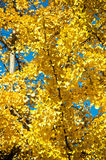 Tree during fall. Tree with yellow leaves during fall Stock Photography