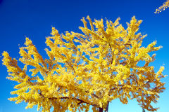 Tree during fall. Tree with yellow leaves during fall Royalty Free Stock Photo