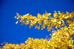Tree during fall. Tree with yellow leaves during fall Royalty Free Stock Photos