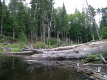 Tree Fall Along an Adirondack Stream Stock Photography