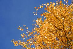 Tree in fall autumn Royalty Free Stock Image