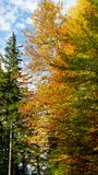 Tree with fall autumn colors - gold, orange, red and green. In Germany stock photography