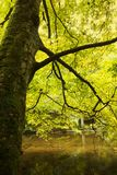Tree with fall foliage along river banks. Tree trunk with fall foliage along river banks in sunny forest Royalty Free Stock Photos