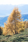 Tree in fall foliage in alpine Indian Summer Stock Photos
