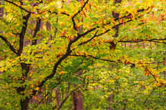 Tree in Fall. Tree with fall foliage amongst the forest Stock Images