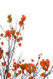 A tree with fall leaves Royalty Free Stock Images
