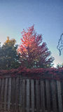 Tree. A fall, red tree with Fence Stock Image