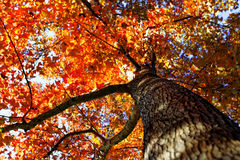 Tree in the Fall with the sun shining through Stock Photo