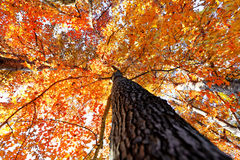 Tree in the Fall with the sun shining through Stock Photos