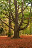 A tree in fall time. A big tree in park, autumn time Royalty Free Stock Photography