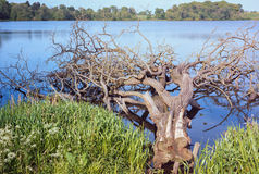 Tree Fallen in Lake Stock Image