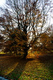 Tree with fallen leaves in the autumn Stock Photos
