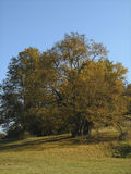 Tree with fallen leaves Royalty Free Stock Photo