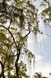 Tree with a falling branch in a park Royalty Free Stock Images