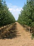 Tree Farm 1. View of rows of Poplars on a tree farm Stock Image