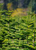 Tree Farm Stock Photos