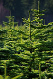 Tree Farm Stock Image