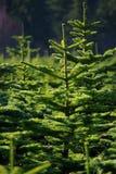 Tree Farm Stock Image