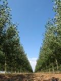 Tree Farm 2. View down a row of Poplars on a tree farm Royalty Free Stock Images