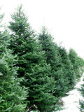 Tree farm. Christmas tree farm royalty free stock image