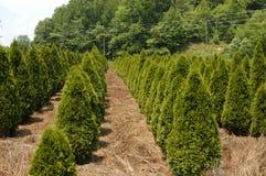 Tree farm. A row of trees at a tree farm Royalty Free Stock Photos