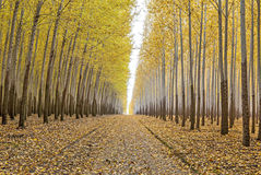 Tree farm access road in the fall Royalty Free Stock Photography