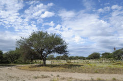Tree in a farm. A Calden (Prosopis caldenia) in a farm in Argentina Royalty Free Stock Photography