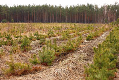 Forest. Tree farm nursery plantation, young forest grow Royalty Free Stock Images