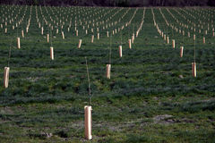 Tree Farm Orchard. Rows of trees surrounded by tree protectors growing on a hillside Stock Photography