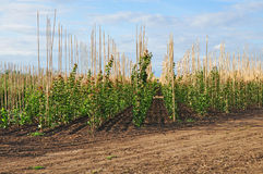 Tree farm plantation Royalty Free Stock Photography
