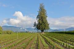 Tree Farm and Shade Tree Stock Image