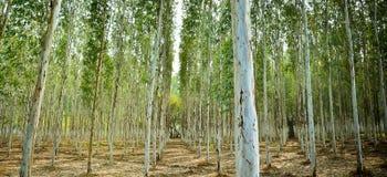Tree farm. Tall white trees growing in a farm Royalty Free Stock Photos