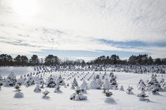 Tree Farm in Winter Royalty Free Stock Photography