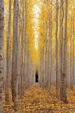 Tree farm yellow autum trees in rows Royalty Free Stock Photography