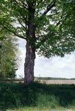 Tree In Farmer's Field Stock Image