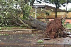 Tree that fell after a storm in the urban area. old tree trunk fallen in the city. Tree fell after a storm in the urban area. old tree trunk fallen in city royalty free stock images