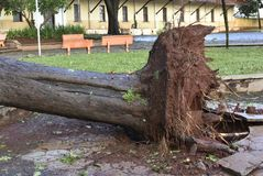 Tree that fell after a storm in the urban area. old tree trunk fallen in the city. Tree fell after a storm in the urban area. old tree trunk fallen in city royalty free stock photo