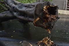 Tree that fell after a storm in the urban area. old tree trunk fallen in the city. Tree fell after a storm in the urban area. old tree trunk fallen in city royalty free stock image