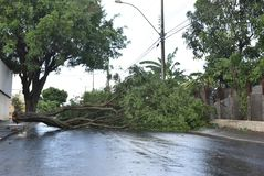 Tree that fell after a storm in the urban area. old tree trunk fallen in the city. Tree fell after a storm in the urban area. old tree trunk fallen in city stock photo
