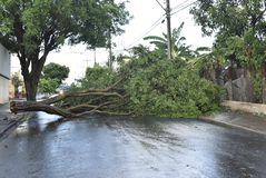 Tree that fell after a storm in the urban area. old tree trunk fallen in the city. Tree fell after a storm in the urban area. old tree trunk fallen in city royalty free stock photography