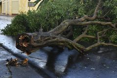 Tree that fell after a storm in the urban area. old tree trunk fallen in the city. Tree fell after a storm in the urban area. old tree trunk fallen in city stock image